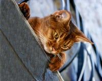 Schöner abyssinischer Katzenabschluß oben Stockbilder