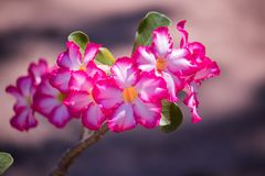 Schöner Adenium blüht im Garten und im schönen Sonnenlichthintergrund zu Hause heranwachsen Lizenzfreie Stockbilder
