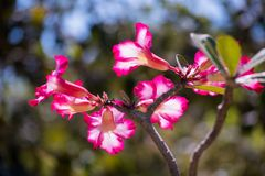 Schöner Adenium blüht im Garten und im schönen Sonnenlichthintergrund zu Hause heranwachsen Lizenzfreies Stockbild