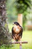 Schöner Adler Stockfoto
