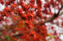 Schöner Affe-Blumen-Baum oder Feuer von Pakistan in Thailand Stockfoto