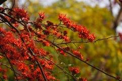 Schöner Affe-Blumen-Baum oder Feuer von Pakistan in Thailand Lizenzfreies Stockbild