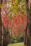 Schöner Affe-Blumen-Baum oder Feuer von Pakistan in Thailand Lizenzfreie Stockbilder