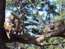 Schöner Affe, der auf Baum schläft Stockbild