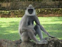 Schöner Affe von Sri Lanka Lizenzfreie Stockfotos