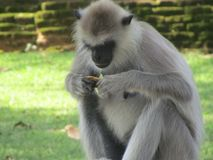 Schöner Affe von Sri Lanka Stockfotos