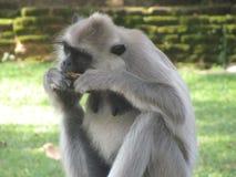 Schöner Affe von Sri Lanka Lizenzfreies Stockfoto