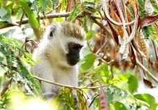 Schöner Afrikaner Vervet-Affe, der auf Baum sitzt Lizenzfreie Stockfotos
