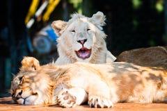 Schöner afrikanischer Löwe, der an der Kamera lächelt Lizenzfreies Stockfoto