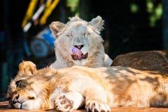 Schöner afrikanischer Löwe, der an der Kamera lächelt Stockbilder