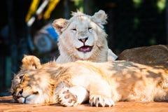Schöner afrikanischer Löwe, der an der Kamera lächelt Stockbild