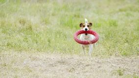 Schöner aktiver Hund von Jack Russell Terrier-Zucht läuft auf Kamera stock video