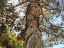Schöner alter Nadelbaum gegen den Himmel Schließen Sie herauf Ansichtstamm einer Kiefers mit den Strobiles lizenzfreie stockfotografie