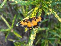 Schöner angrenzender Flecken-Schmetterlings-schöner angrenzender Flecken-Schmetterling, der auf einer grün-gelben Anlage stillste lizenzfreie stockfotografie