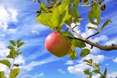 Schöner Apfel auf Baum Stockfotografie