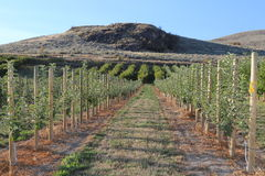 Schöner Apfelgarten mit blauem Himmel im Herbst Lizenzfreies Stockfoto
