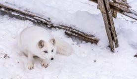 Schöner arktischer Fox mit dem Durchbohren von braunen Augen lizenzfreie stockbilder
