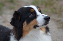 Schöner australischer Schäfer Dog Profile stockfoto