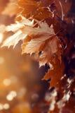 Schöner Autumn Leaves auf Autumn Red Background Sunny Daylight Stockbilder