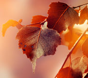 Schöner Autumn Leaves auf Autumn Red Background Sunny Daylight Stockbild