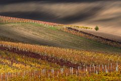 Schöner Autumn Rural Landscape With Lonely-Baum und fantastischer bunter Autumn Vineyards Rows Autumn Colorful Vineyards Of Czec lizenzfreie stockfotos