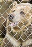 Schöner Bär in der Gefangenschaft stockfotos