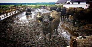 Schöner Büffel Lizenzfreies Stockfoto
