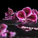Schöner Badekurorthintergrund der blühenden dunklen purpurroten Pelargonienblume Stockbild
