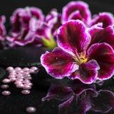 Schöner Badekurorthintergrund der Pelargonienblume, der Perlen und des schwarzen Zens Stockbild