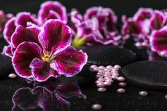 Schöner Badekurorthintergrund der Pelargonienblume, der Perlen und des schwarzen Zens Stockfotos