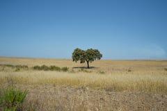 Schöner Baum in der Mitte von Nirgendwo in Süd-Portugal Stockbilder