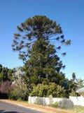Schöner Baum im Hirsch des swartland Stockfotos