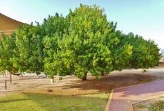 Schöner Baum im Schulgarten Lizenzfreie Stockfotos