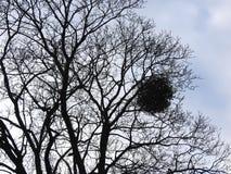 Schöner Baum im Winter, Litauen Stockfotografie