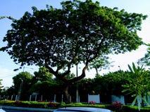 Schöner Baum Kennedy Avenue Guayaquil lizenzfreie stockfotos
