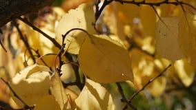 Schöner Baum mit großzügig bedeckt mit einem gelben Herbstlaubabschluß oben stock video footage