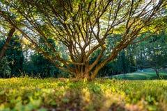 Schöner Baum mit Sun, der durch späht Lizenzfreie Stockfotos