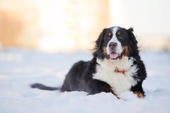 Schöner bernese Gebirgshund liegt auf Schnee Stockfotografie