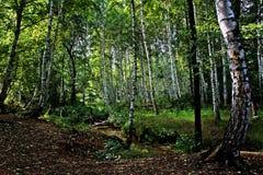 Schöner Birken-Wald Stockbilder