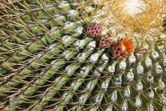 Schöner Biznaga-Kaktus mit Blumen-Blüte Lizenzfreie Stockfotografie