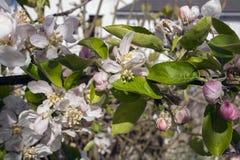 Schöner blühender Apfelbaum Stockfoto