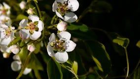 Schöner blühender Apfelbaum auf Windfrühling im Garten Statische Kamera stock video footage