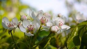 Schöner blühender Apfelbaum auf Windfrühling im Garten Statische Kamera stock video