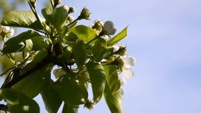 Schöner blühender Apfelbaum auf Windfrühling im Garten Statische Kamera Hintergrund des blauen Himmels stock footage