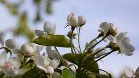 Schöner blühender Apfelbaum auf Windfrühling im Garten Statische Kamera Hintergrund des blauen Himmels stock video footage