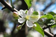 Schöner blühender Apfelbaum, Frühlingszeit lizenzfreie stockbilder