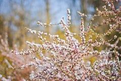 Schöner blühender Baum Stockfotografie