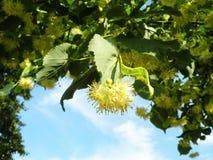 Schöner blühender Baum im Frühjahr, Litauen Stockbilder