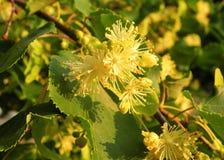 Schöner blühender Baum im Frühjahr, Litauen Lizenzfreies Stockbild