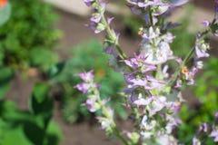 Schöner blühender Busch des Salbeis gegen den Hintergrund eines hellen Gartens im Sommer Stockbild